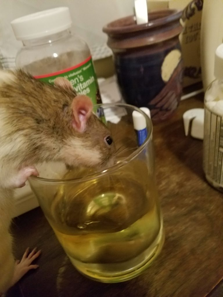 a grey and white rat reaches into a cup of apple juice